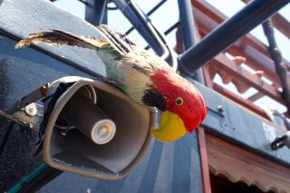 parrot cruise